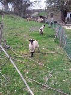 Goats.. close to Bastardo