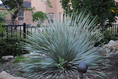Excellent drought tolerant plant and a central Texas native - Texas Sotol