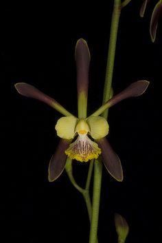 Encyclia alata, by ArmandoNC, via Flickr