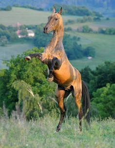Akhal-Teke stallion Duigur