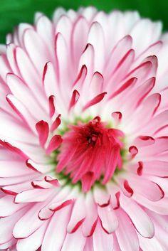 Aster la vista baby ~ pink daisy