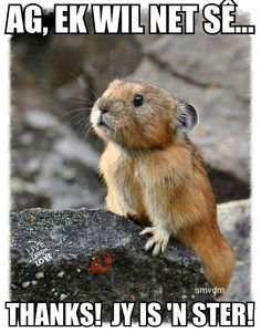 The north American pika. these adorable small mammals can be found in the northwestern United states and British Columbia, Canada. Cute Creatures, Beautiful Creatures, Animals Beautiful, Cute Baby Animals, Animals And Pets, Funny Animals, Wild Animals, Baby Biber, Hamsters