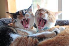 In Sync, Orange Cats, Beautiful Creatures, Cute Cats, Fun Stuff, Cinnamon, Kitty, Board, Funny