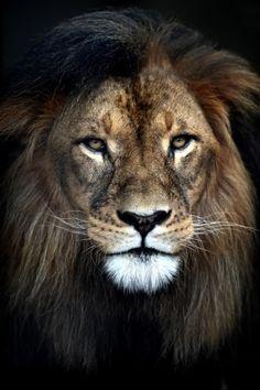 leem-wonen-wildlife-fotografie-umo-art-gallery-leeuw-foto-op-dibond
