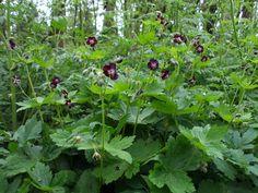 Geranium phaeum- Donkere ooievaarsbek
