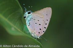 Marysas-hairstreak (Pseudolycaena marysas)