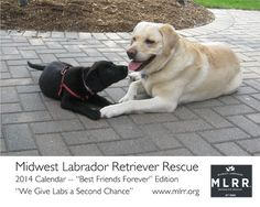Midwest Labrador Retriever Rescue :: Chicago and Chicagoland Illinois Labrador Retriever Rescue, Illinois, Chicago, Dogs, Doggies, Pet Dogs