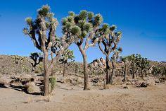 El árbol de Josué (Yucca brevifolia) es una especie de árboles de la familia de las agaváceas. (Photo: (c) John Weiss, algunos derechos reservados (CC BY-NC-ND))