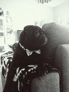 #suit up ! #carlin #pug