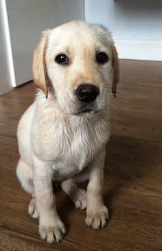 Yellow Lab puppy (Molly) ❤️