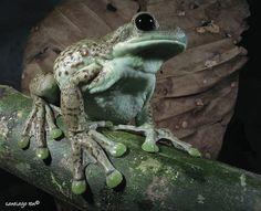 Milk Frog (Phrynohyas sp)