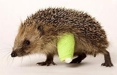 Holy crap. That hedgehog has cast on it's wittle, bitty leg. I love him so much.