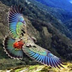 The New Zealand Kea in flight, he may look dowdy when on the ground, but in flight he is glorious...