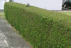 A well clipped hedge with an old post peeping through.