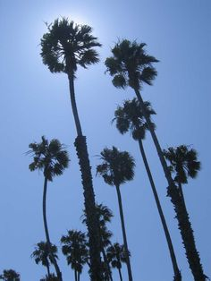 A beautiful sunny day in Santa Barbara, California, showing palm trees in the sun