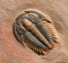 Schöner Trilobit aus Utah der Art Modocia typicalis aus der Marjum Formation.
