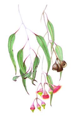 Portfolio of artworks produced by tutors from Waverley Woollahra Art School in Bondi Watercolor Paintings Nature, Watercolor Sketch, Watercolor Flowers, Artwork Paintings, Botanical Drawings, Botanical Illustration, Botanical Prints, Native Drawings, Australian Painting