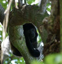 Howler Monkey enjoying a nap