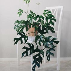 That can't be a Monstera ~ look at how the leaves are split! Commonly mistaken to be a Monstera or a Philodendron, 🙀 this is actually a… Rare Plants, Potted Plants, Foliage Plants, Green Plants, Cactus Plants, Leafy Plants, Cool Plants, Tropical Plants, Art Floral Japonais