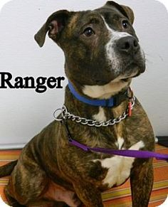 Parma Oh Boxer American Bulldog Mix Meet Ranger A Dog For Adoption American Bulldog Mix Dog Adoption Dogs