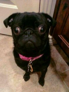 Chloe the pug!