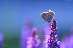 Modraszek, Motyl, Kwiat- Piękne tapety na Twój pulpit.