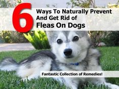 6 Natural Flea Remedies For Dogs - Cupcakepedia