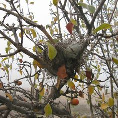 Birds nest in an apple tree. My front yard in Gazelle, Ca. Free Photos, Free Images, Mind Relaxation, Brown Bird, Apple Tree, Picture Video, Nest, Photo Galleries, Photo Editing