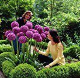 Amazon Angebote Garten RIESEN ZIERLAUCH (Allium giganteum) - 30 Samen / Pack - dekorative und winterharte Zierpflanze für…%#Quickberater%