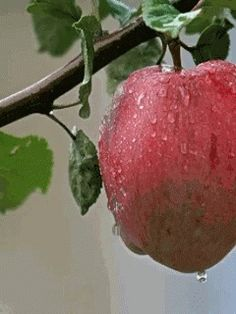 The perfect Apple Raindrops Animated GIF for your conversation. Discover and Share the best GIFs on Tenor. Crying Gif, Loop Gif, Apple Turnovers, Bad Apple, Beautiful Gif, Gif Pictures, Hand Pies, Fruits And Veggies, Gifs
