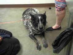 PetHarbor.com: Chance ID#A4062959. 10 yr. old male Australian Cattle Dog mix. Arrived 03/06/18. Available at Maricopa County Animal Care & Control, Mesa,AZ.