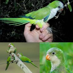 Save Our Green » Monk parakeet