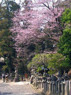 東大寺ねこ段の桜