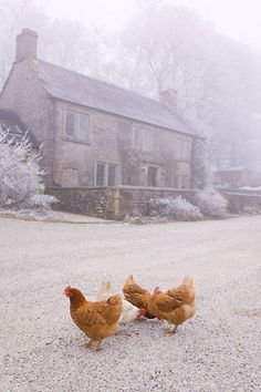 Chickens in the snow in front of an amazing house.