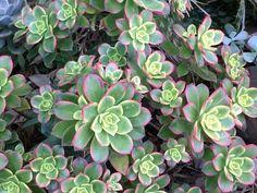 Aeonium haworthii - Kiwi