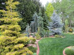 Conifer garden arrangement. Small trees with big trees.