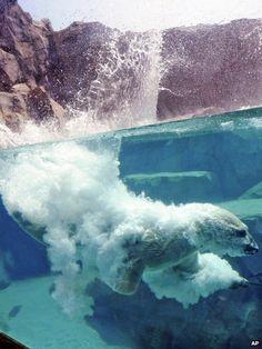 Polar bear dives at Brookfield zoo, Illinois
