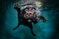 Duchess, Black Labrador Retriever, diving.