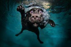 Duchess, Black Labrador Retriever, diving.
