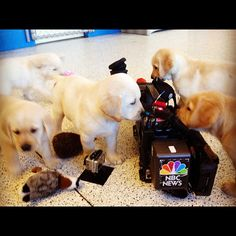 Puppies train to be future #service #dogs. So adorable!