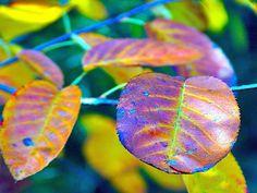 Glockenblume's leaves aren't they wonderful!