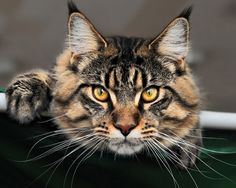 Maine Coon. Ideal second cat for my life.