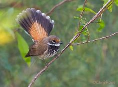 Image result for rufous fantail
