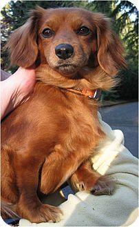 Salem, OR - Dachshund Mix. Meet Phoebe, a dog for adoption. http://www.adoptapet.com/pet/15283566-salem-oregon-dachshund-mix