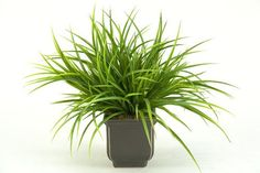Grasses (maybe for the small balcony #garden ?)