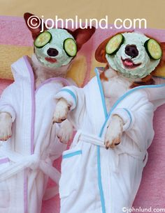 Image detail for -Funny pet pictures of two Jack Russell Terrier dogs getting facials ...