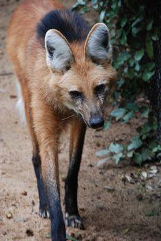 Anime Animals, Animals And Pets, Cute Animals, Wild Animals, Smiling Animals, Coyotes, Amphibians, Mammals, Maned Wolf