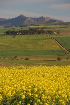 Canola - Swartland - South Africa Canola Field, National Botanical Gardens, Especie Animal, Reserva Natural, Out Of Africa, Golden Yellow, Afrikaans, Africa Travel, West Coast