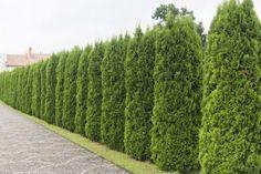 Agrotkanina Tall Plants, Large Plants, Cypress Gardens Florida, Fast Growing Shrubs, Clusia, Thuja Occidentalis, Evergreen Hedge, Sun Loving Plants, Cypress Trees