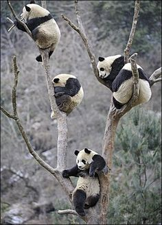 First panda: Hey guys, how do we get down? second panda: Idk. Should we just climb down? fourth panda: NO! third panda: Should we just drop? the other pandas: Sounds fair. Nature Animals, Animals And Pets, Baby Animals, Funny Animals, Cute Animals, Wild Animals, Wildlife Nature, Beautiful Creatures, Animals Beautiful